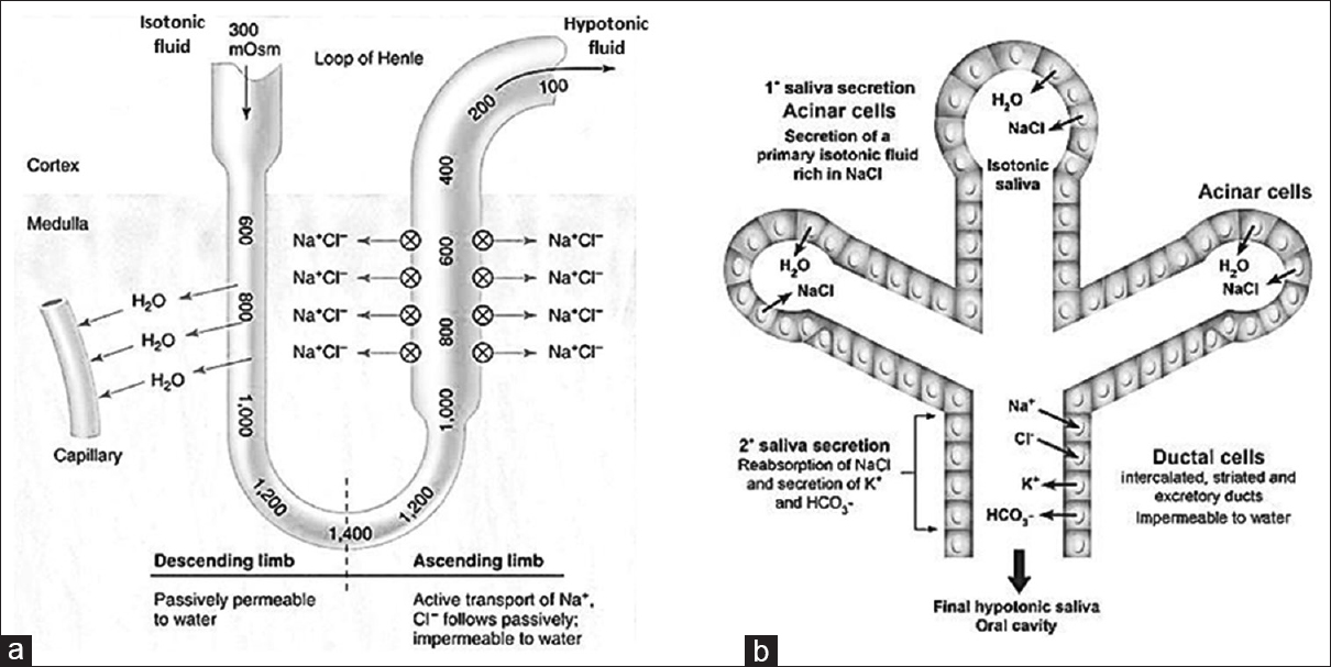 "Figure 3: (a) Loop of Henle. Adapted and modified from Human Physiology 12<sup>th</sup> by Fox SI. New York: The McGraw-Hill Companies; 2011. Figure 17.14.<sup>[3]</sup> (b) Salivary gland. Adapted and modified with permission from Elsevier: Autoimmunity Reviews ""The imprint of salivary secretion in autoimmune disorders and related pathological conditions"" by Bhattarai <i>et al</i>. 2018.[4]"