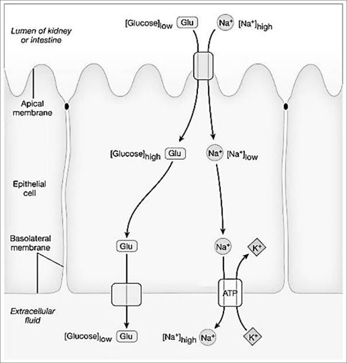 Figure 4: Transepithelial transport of glucose. Adapted from Human Physiology. An Integrated Approach. 6<sup>th</sup>ed by Silverthorn DU. Boston: Pearson Education; 2014. Figure 5.21.<sup>[5]</sup>